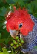 Gang-gang Cockatoo (Image ID 46695)
