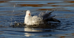 Silver Gull (Image ID 46553)