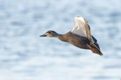 Pacific Black Duck (Image ID 46554)
