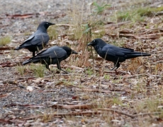 Little Raven (Image ID 46807)