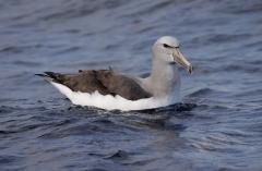 Salvin's Albatross (Image ID 46762)