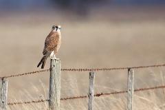 Brown Falcon (Image ID 46858)