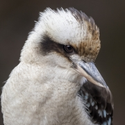 Laughing Kookaburra (Image ID 46783)