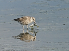 Kelp Gull (Image ID 46743)