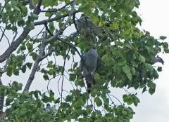 Topknot Pigeon (Image ID 46778)