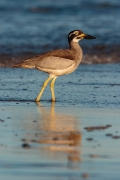 Beach Stone-curlew (Image ID 46714)