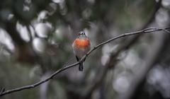 Scarlet Robin (Image ID 46855)