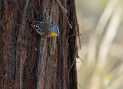 Spotted Pardalote (Image ID 46538)
