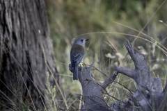 Grey Shrike-thrush (Image ID 46771)