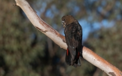 Glossy Black-Cockatoo (Image ID 46769)