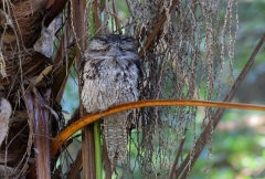 Tawny Frogmouth (Image ID 46725)