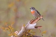 Scarlet Robin (Image ID 46546)