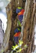 Rainbow Lorikeet (Image ID 46821)
