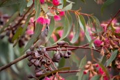 Brown Honeyeater (Image ID 46808)