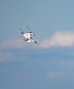Australasian Gannet (Image ID 46586)