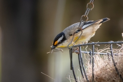 Striated Pardalote (Image ID 46788)