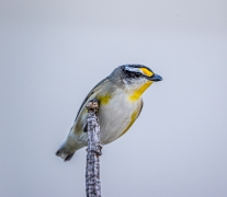 Striated Pardalote (Image ID 46706)