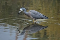 White-faced Heron (Image ID 46680)