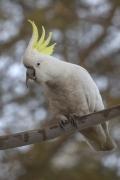 Sulphur-crested Cockatoo (Image ID 46766)