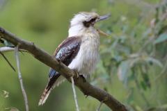 Laughing Kookaburra (Image ID 46742)