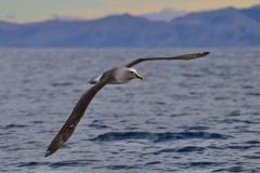 Buller's Albatross (Image ID 46582)