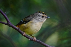 Spotted Pardalote (Image ID 47255)