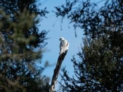 Black-shouldered Kite (Image ID 47179)