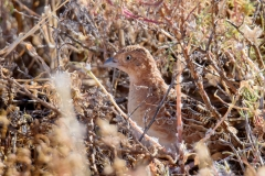 Little Button-quail (Image ID 47045)