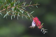 Scarlet Honeyeater (Image ID 46907)