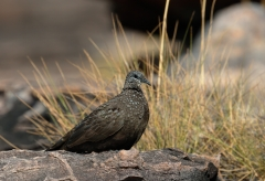 Chestnut-quilled Rock-Pigeon (Image ID 46888)