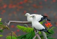 Torresian Imperial-Pigeon (Image ID 46889)
