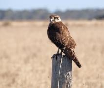 Brown Falcon (Image ID 47075)