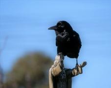 Little Raven (Image ID 47074)