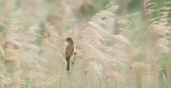Australian Reed-Warbler (Image ID 47032)