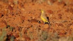 Gibberbird (Image ID 47137)