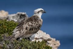 Osprey (Image ID 47066)