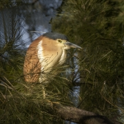 Nankeen Night-Heron (Image ID 47294)
