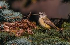 Yellow-rumped Thornbill (Image ID 46995)