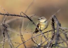 Yellow-rumped Thornbill (Image ID 47300)