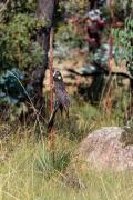 Yellow-tailed Black-Cockatoo (Image ID 47303)