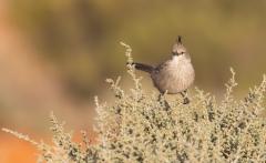 Chirruping Wedgebill (Image ID 47020)