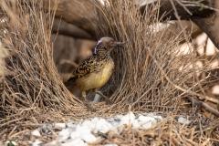 Western Bowerbird (Image ID 47266)
