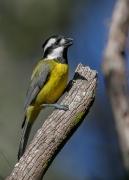 Eastern Shrike-tit (Image ID 47308)