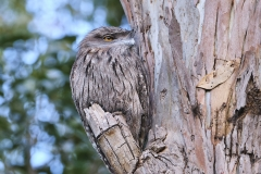 Tawny Frogmouth (Image ID 47197)