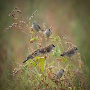 Plum-headed Finch (Image ID 47287)