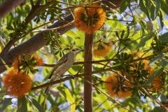 Grey-fronted Honeyeater (Image ID 46921)