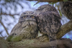Tawny Frogmouth (Image ID 47224)