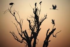 Brolga, Little Egret, Nankeen Night-Heron, Straw-necked Ibis