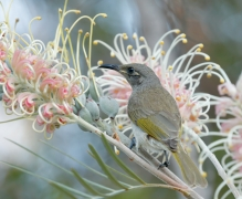 Brown Honeyeater (Image ID 27086)