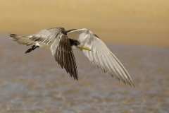 Crested Tern (Image ID 27093)